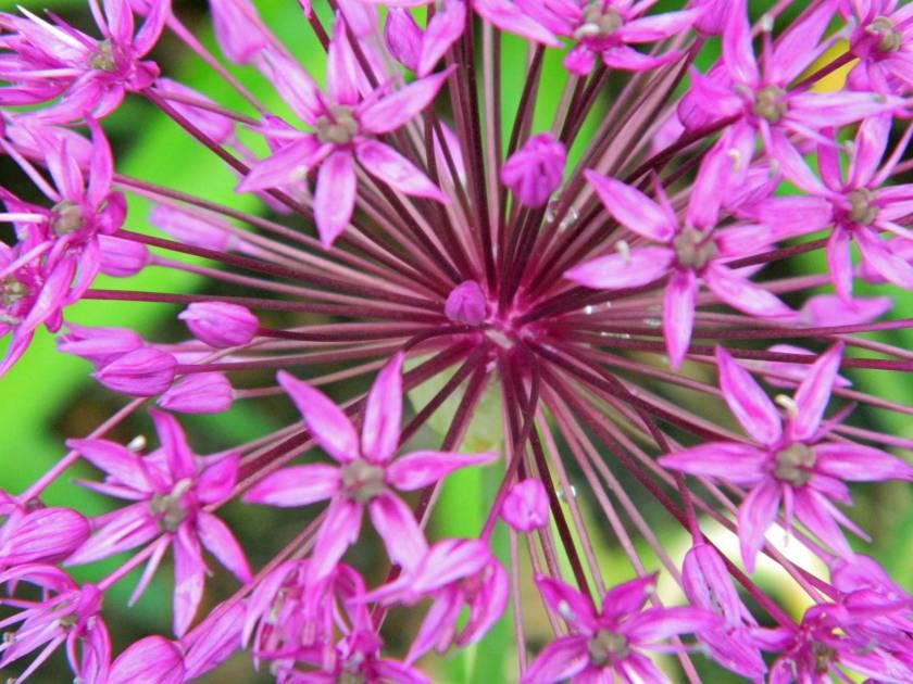 Allium-DSCN7827